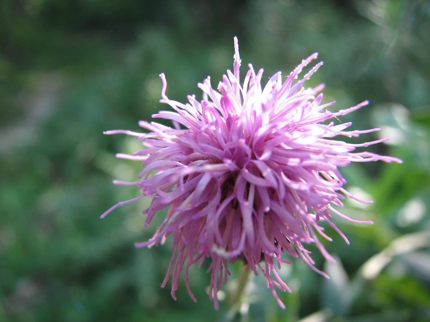 Фото дикорастущих цветов крыма